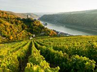 Der Anteil vom Weissweinanbau an der Mosel beträgt 91 Prozent.