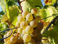 Zumeist werden Sie bei Ihrer Weinreise auf Riesling-Trauben stoßen.