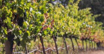 Amerikanischer Wein: Diese Weißweine aus Kalifornien sollte man probiert haben