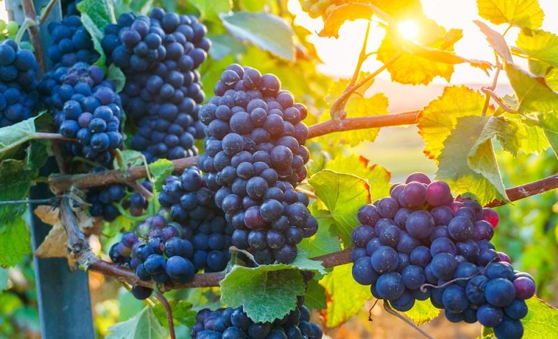 Aufgrund der aktuell wieder steigenden Nachfrage nach Champagner aus Frankreich, wird ab diesem Jahr das Anbaugebiet um die Region Soissons ausgeweitet. Somit können mehr Trauben geerntet und daraus mehr Champagner hergestellt werden. (#01)